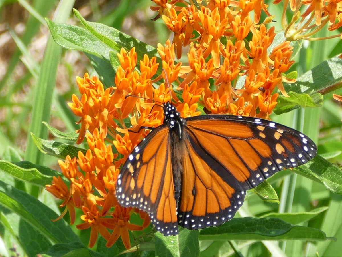 close up of a monarch butterfly on an orange flower cluster