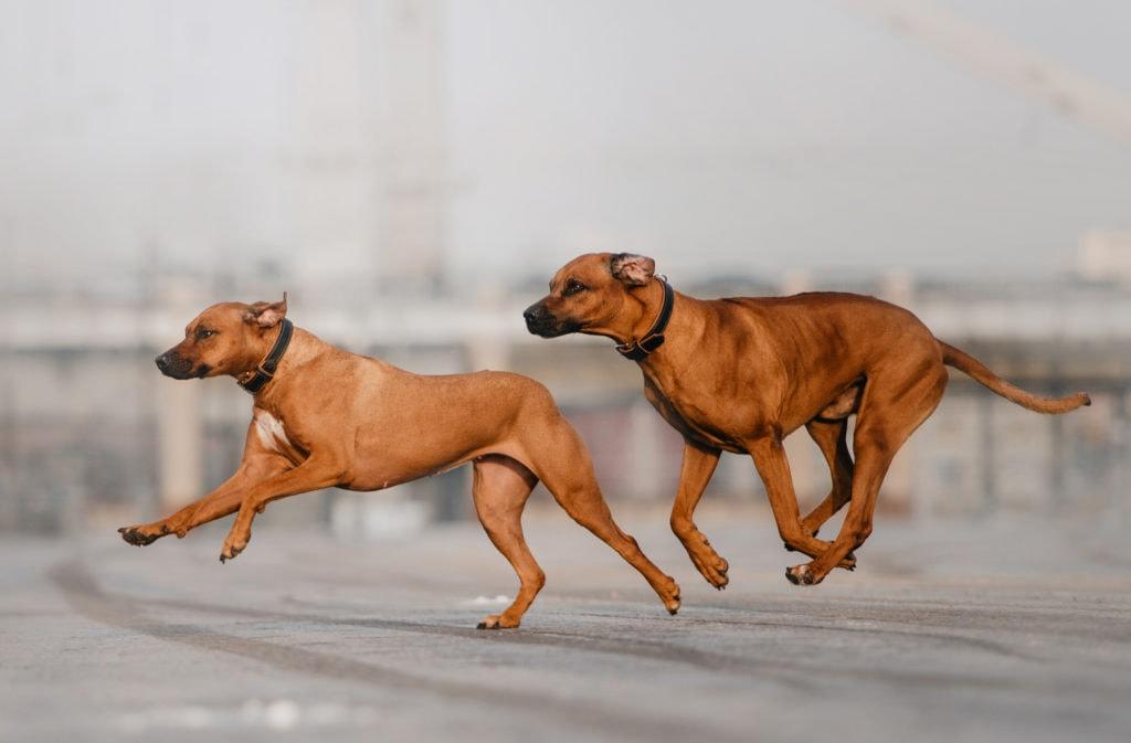 two rhodesian ridgeback dogs running along a road